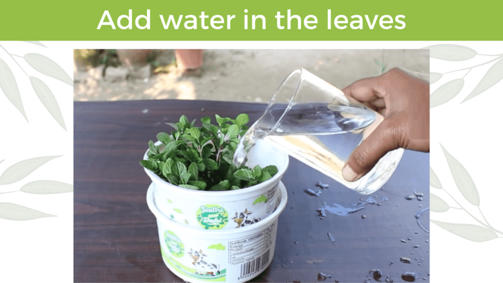 add water in the mint leave to make it grow bigger