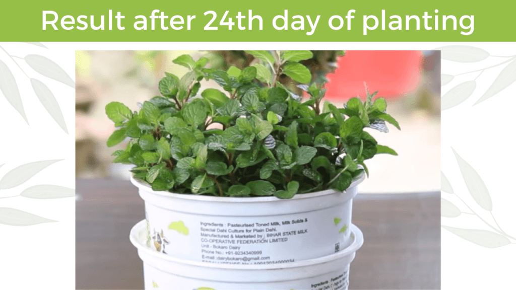 result of mint after 24th day of planting