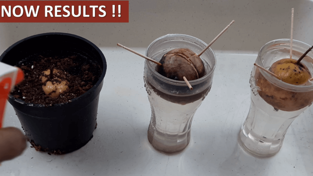 40 day results on how to grow avocado
