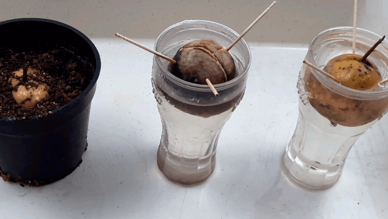 grow avocado in water