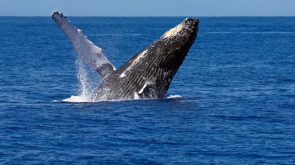 Maui (Hawaii) - Best Whale watching place to visit